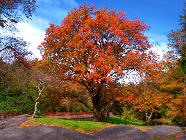 Interesting facts - northern red oak tree